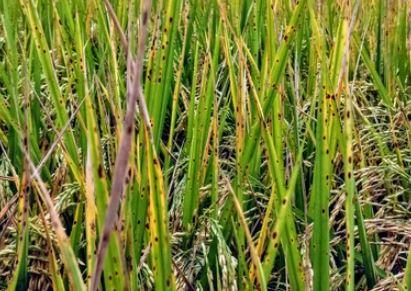निगरानी दल का पता नहीं धान की फसलों पर अब इन बीमारियों का प्रकोप