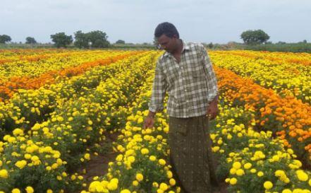 जिले में अब  (गेंदा) रजनीगंधा और गुलाब की खेती शुरू हो गई।