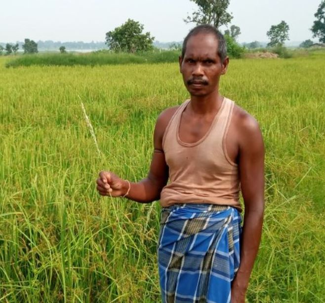 30 हजार एकड़ में बाेई धान की फसल कीट व बीमारियों की चपेट में