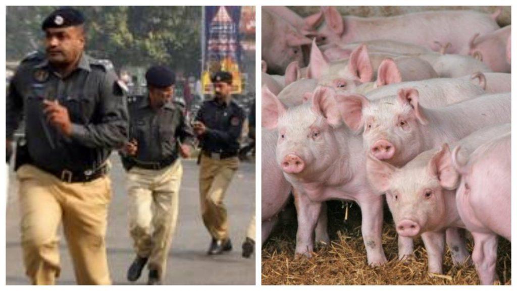 सूअर पाकिस्तानी पुलिस स्टेशन में घुसपैठ करते हैं, पुलिस को आतंकित करते हैं